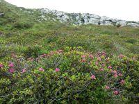 Alpenrosenblühen